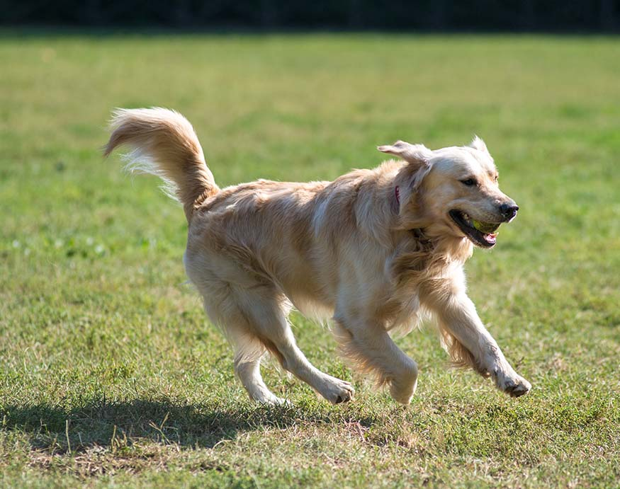 A picture of a labrador running