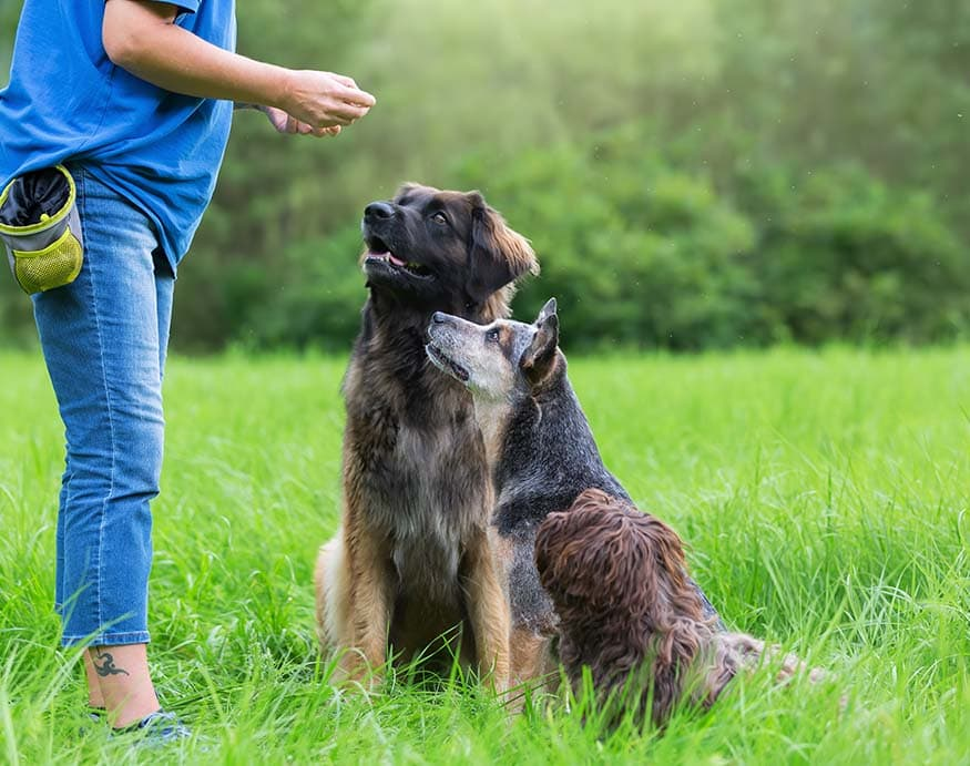 A dog trainer giving treats to dogs